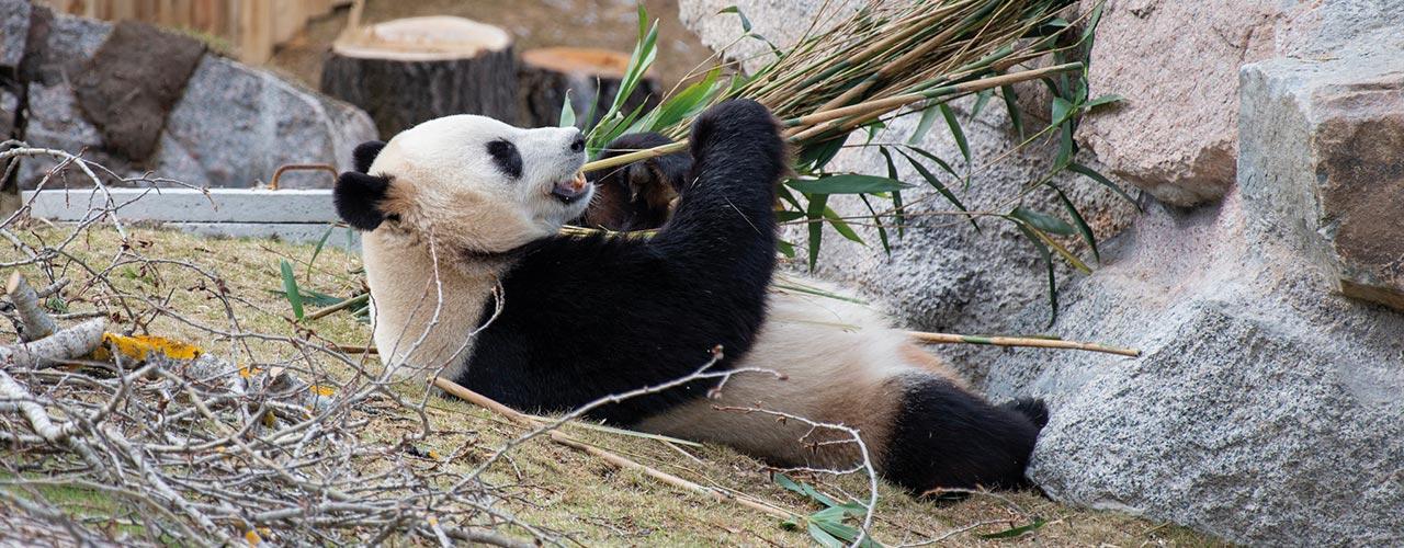panda-makaa-ja-syo-bambua