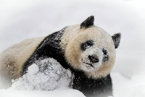 meet the snowpandas